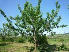 プルーンってこんな木